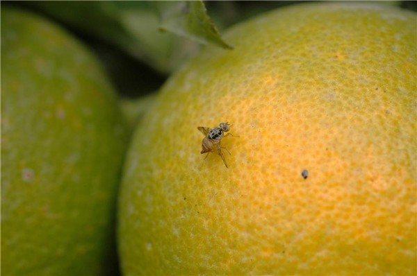 trampa-casera-para-eliminar-las-mocas-con-una-naranja
