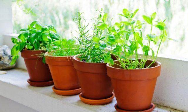 plantas-aromaticas