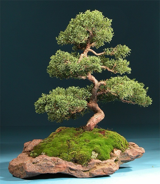 Bonsai con musgo - Como cuidar un bonsai ...