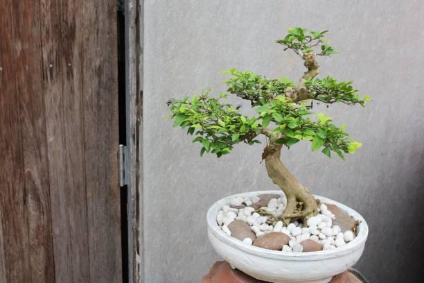 Como cuidar un bonsai casa