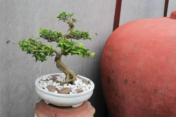 Como cuidar un bonsai pasos