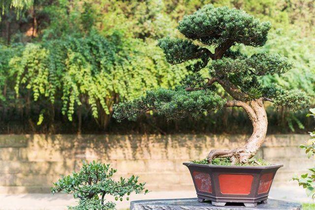 Como cuidar un bonsai transplante