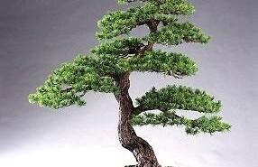Como cuidar un bonsai