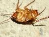 cucaracha-muerta