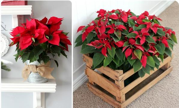 Flowers-and-table-for-christmas-poinsettias-rojas