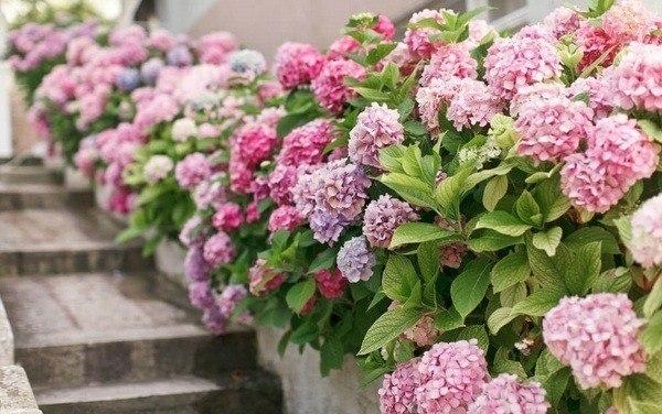 Jardines con flores 50 fotos de ideas para decorar - Como cuidar una hortensia de exterior ...