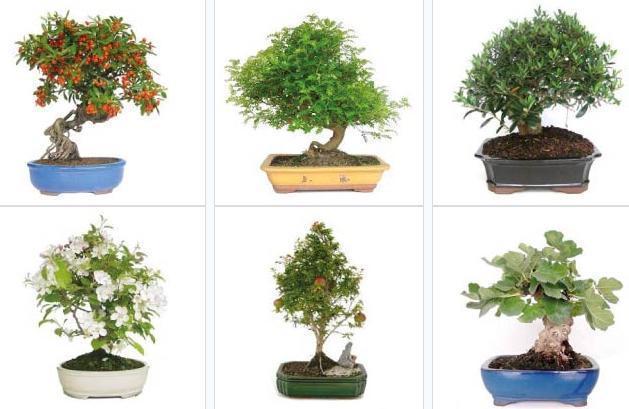 catalogo-verdecora-2014-bonsais