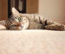 Cómo cuidar a un gato en casa