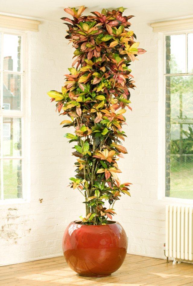 Plantas de interior fotos planta alta para el salon - Tipo de plantas de interior ...