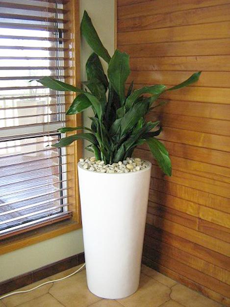 Plantas de interior fotos planta sala hojas grandes - Plantas interior grandes ...
