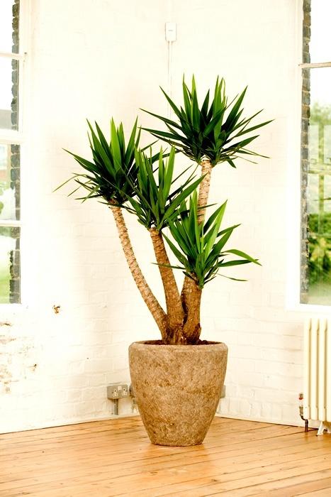Plantas de interior fotos tronco para el salon - Tipos de plantas de interior ...