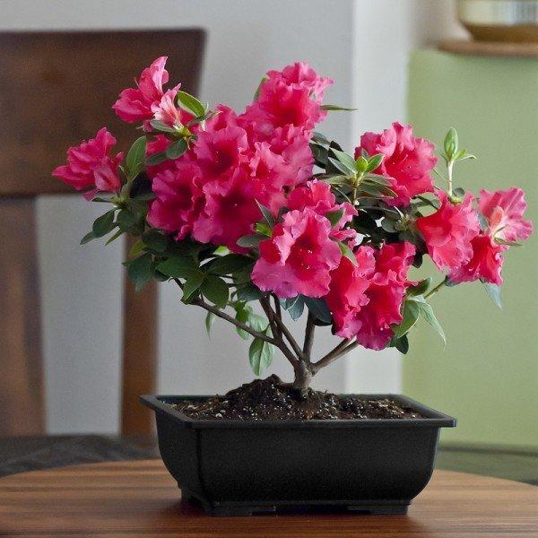 Plantas de interior tipos cuidados y fotos - Cuidado de azaleas en interior ...