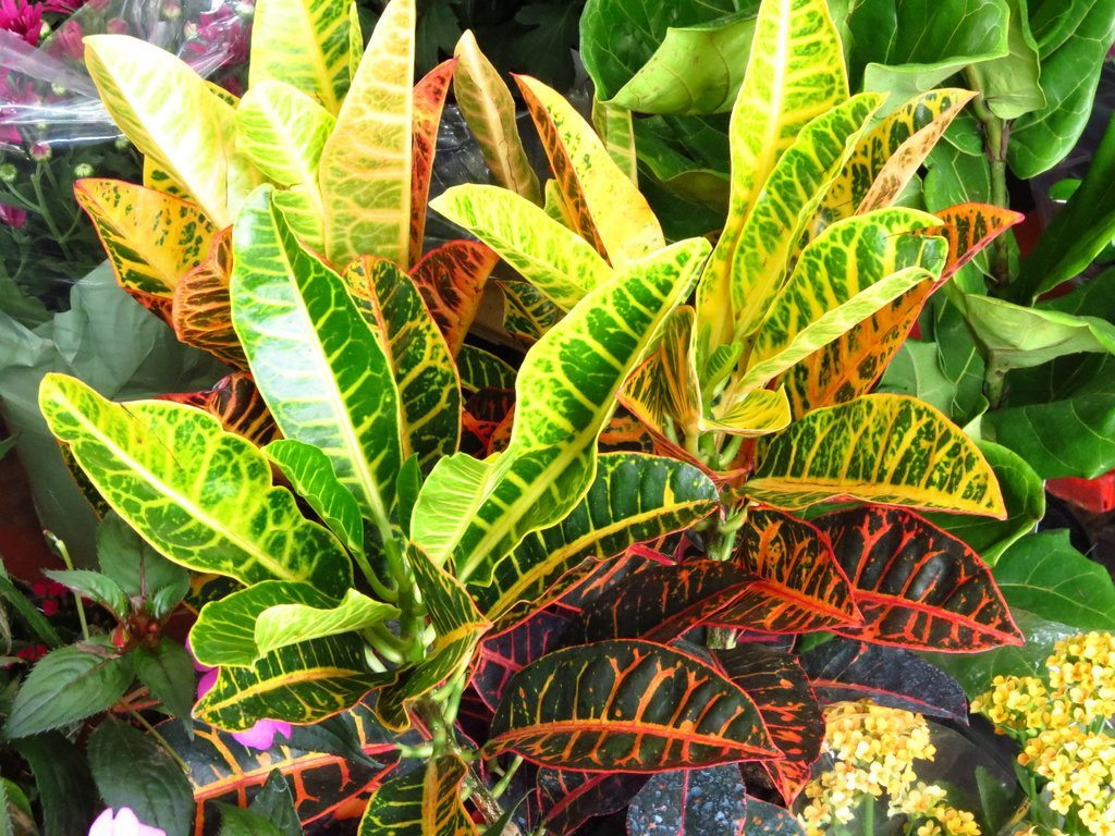Plantas de interior tipos croton for Planta tropical interior