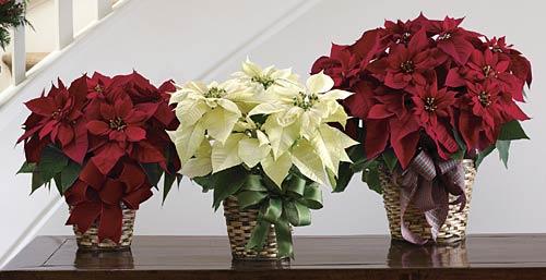 Flor de Pascua es una de las plantas de interior más tradicionales de