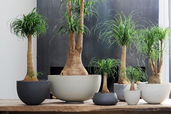 plantas-de-interior-TIPOS-Pata-de-elefante