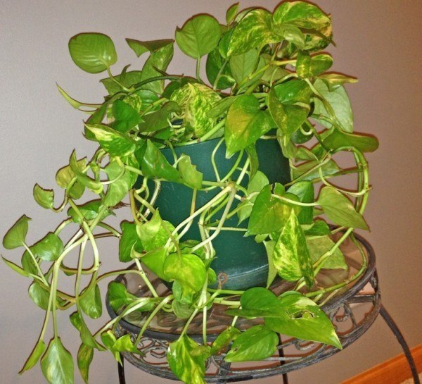 plantas-de-interior-TIPOS-Potho