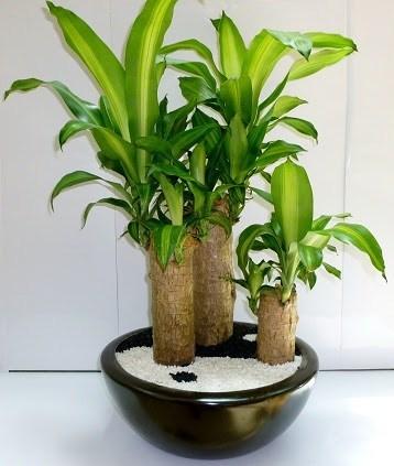 plantas-de-interior-TIPOS-Tronco-de-Brasil
