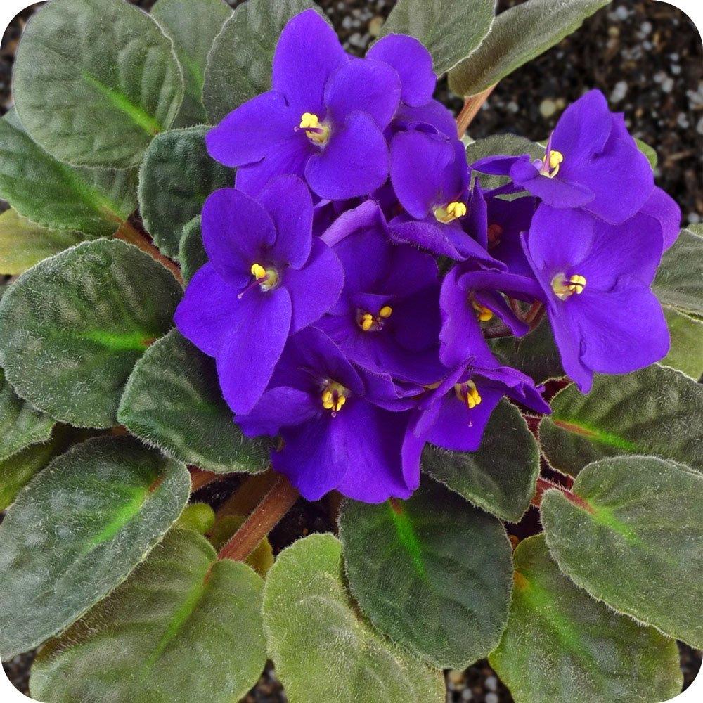 Plantas de interior tipos violeta africana - Clases de plantas de interior ...