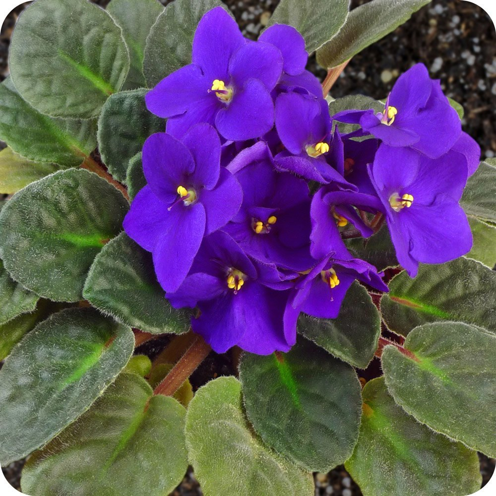 Plantas de interior tipos violeta africana for Tipos de plantas para decorar interiores