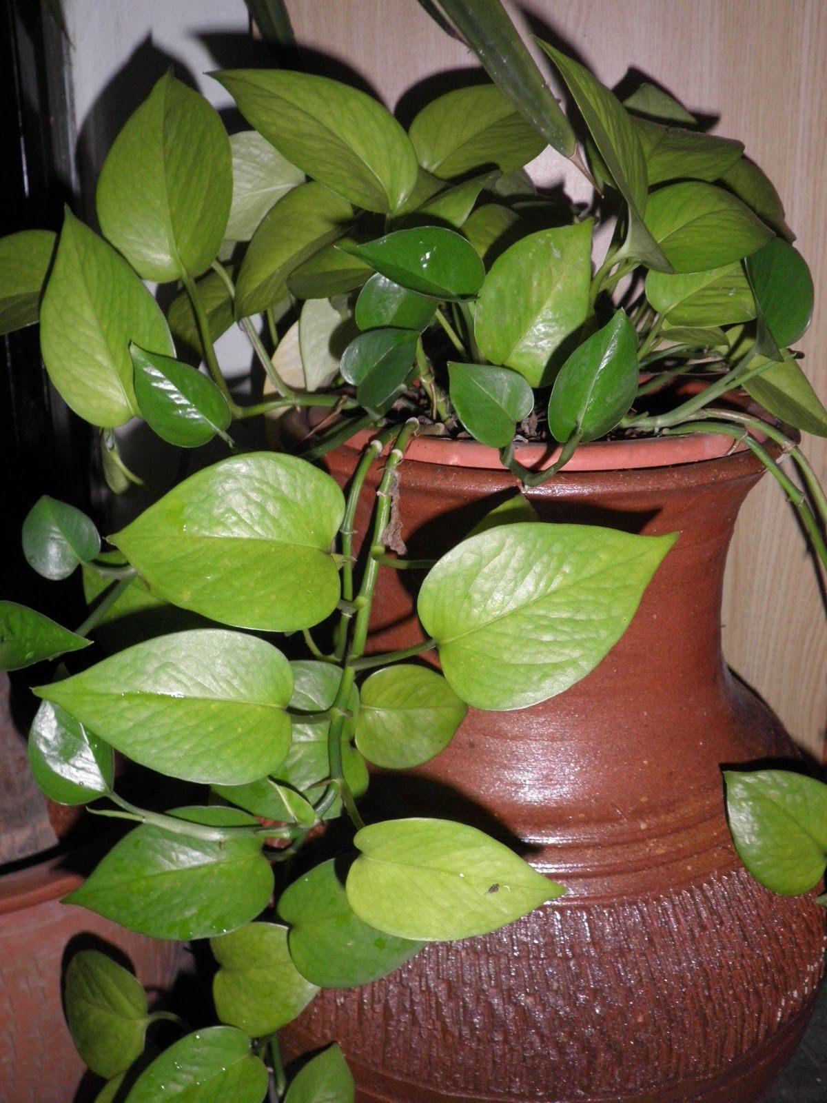 Plantas de interior tipos cuidados y fotos plantas del - Tipos de plantas de interior ...