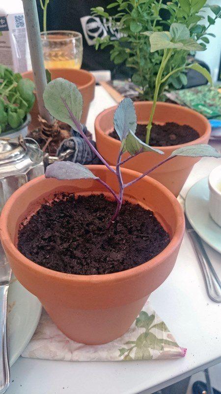 como_plantar_lombarda