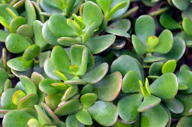 Planta interior suculentas
