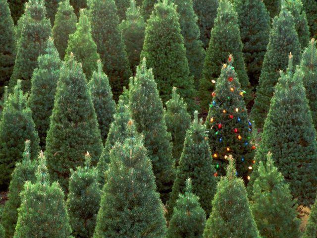 Christmas trees-natural