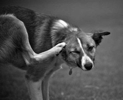 pulgas-en-casa-perros