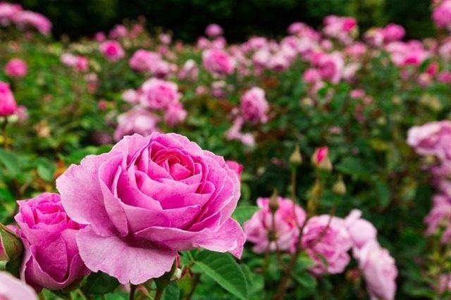 Flores Bonitas Que Deben De Estar En Todos Los Jardines - Flores-bonitas-para-jardin