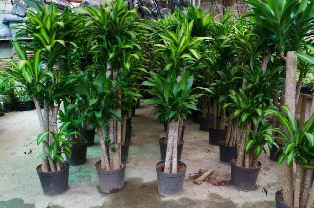 Las plantas mas faciles de cuidar de interior tronco del brasil