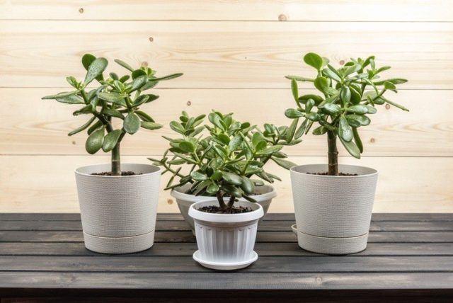 Plantas de exterior faciles de cuidar jade