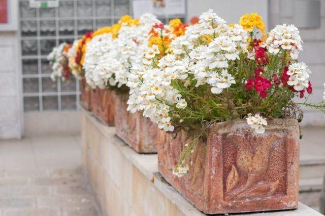 Plantas de exterior faciles de cuidar verbena