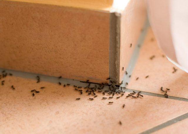 Como acabar con las hormigas en casa