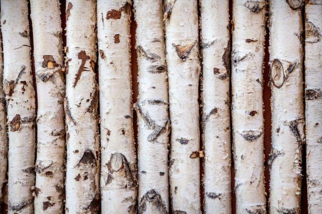 Troncos de madera de abedul