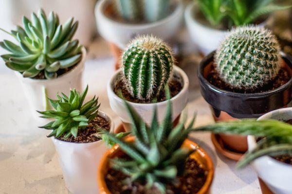 como-decorar-con-cactus-variedad-istock