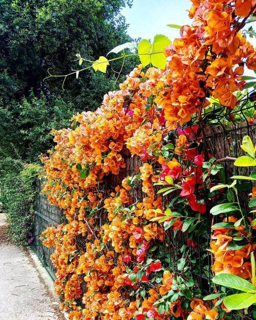 Trepadoras color naranja