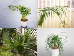 13 palmeras de interior para convertir la casa en un paraíso tropical